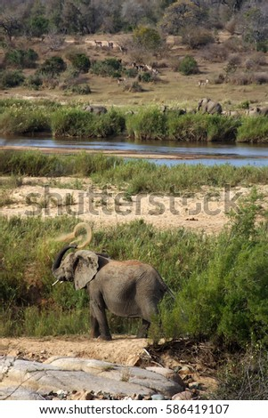 The African bush elephant (Loxodonta africana) by the river #586419107