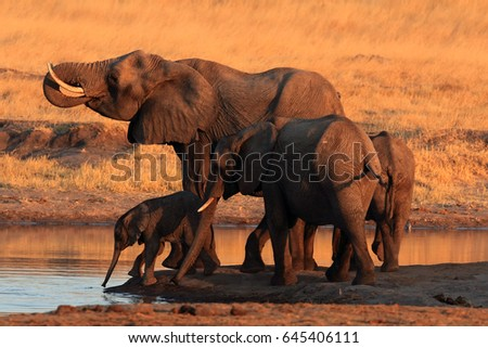 The african bush elephant (Loxodonta africana) group of the elephants by the waterhole at sunset