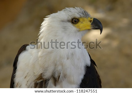 The African Fish Eagle (Haliaeetus vocifer)