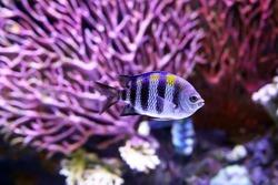 The African Malawi cichlids. Fish of the genus Maylandia estherae