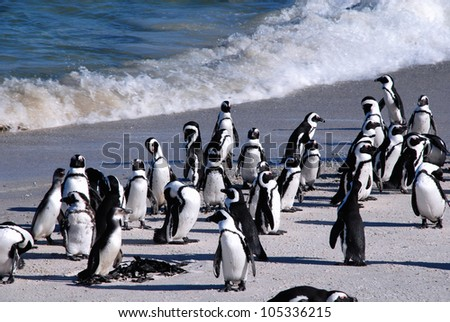 The African Penguins (also known as the Black-footed Penguins) at Boulder Beach of Atlantic Ocean(Capetown, South Africa)
