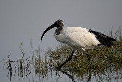 The African Sacred Ibis (Threskiornis aethiopicus) is a species of ibis.