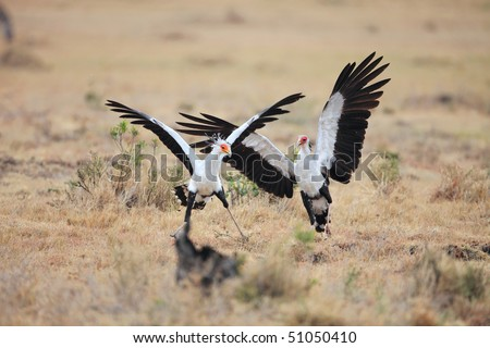 The African secretary bird kills its prey by stamping it with its feet. It mostly runs rather than flies. , Masai mara, Kenya