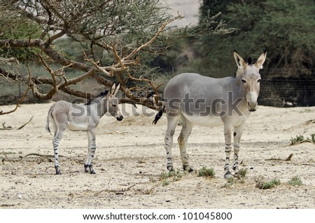 The African wild ass (Equus africanus), mentioned in the Bible, is the forefather of all domestic asses. This species is extremely rare both in nature and in captivity, Hai Bar nature reserve, Israel - stock photo