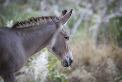The African wild donkey or African wild ass (Equus africanus) is a wild member of the horse family, Equidae. They live in the deserts of the Horn of Africa, in Eritrea, Ethiopia and Somalia.