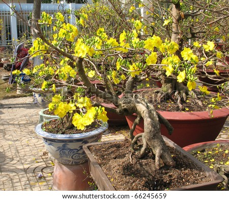 the aged apricot flower tree in tropic spring time
