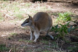The agile wallaby also known as the sandy wallaby, it gets this name from his sandy coat.