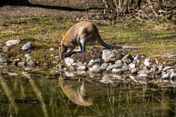 The agile wallaby, Macropus agilis also known as the sandy wallaby is a species of wallaby found in northern Australia and New Guinea.