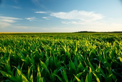 The agricultural land of a green corn farm with a perfect sky. Location place of Ukrainian agricultural region, Europe. Cultivated fields. Photo wallpaper. Minimalistic landscape. Beauty of earth.