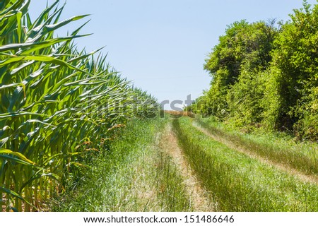 The agricultural landscape. The path along the cornfield.
