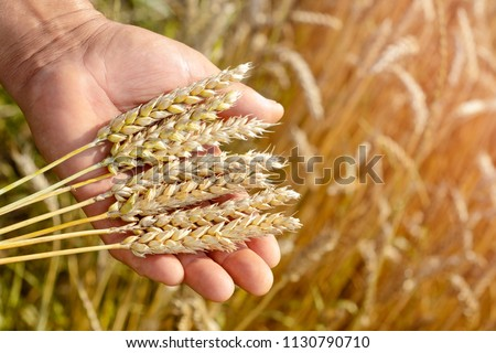 The agronomist in the wheat field holds ripe wheat bread wheat in his hands. The concept of farming. #1130790710