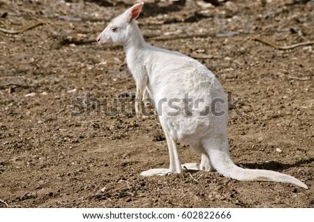 Shutterstock the albino eastern grey kangaroo is in a paddock