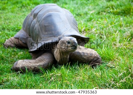 The Aldabra Giant Tortoise (Geochelone gigantea), from the islands of the Aldabra Atoll in the Seychelles, is one of the largest tortoises in the world.