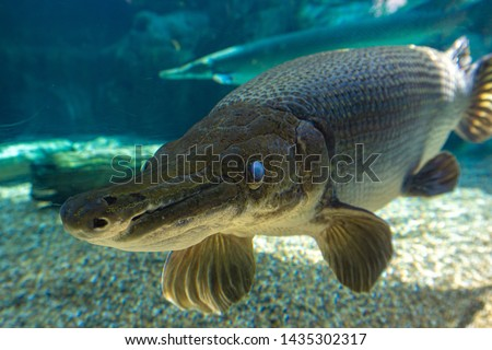 The alligator gar (Atractosteus spatula) is a ray-finned euryhaline fish related to the bowfin in the infraclass Holostei. Photo stock ©
