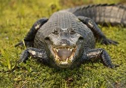 The alligator smile