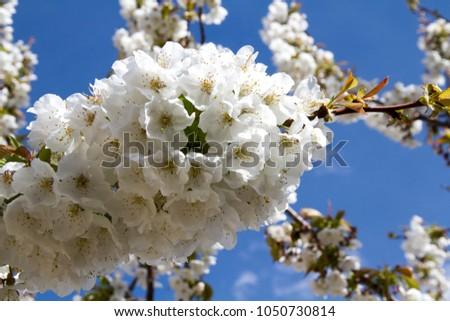 The almond blossom, the cherry blossom or the apricot blossom