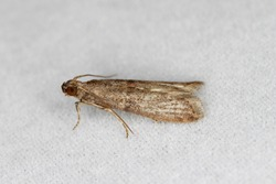 The almond moth or tropical warehouse moth Cadra cautella Pyralidae. It is a stored-product pest. Adult insect (moth) - high magnification.