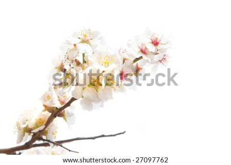 The almond tree pink flowers with branch isolated on white.