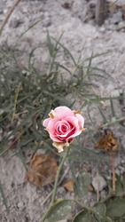 The almost dead pink rose flower
