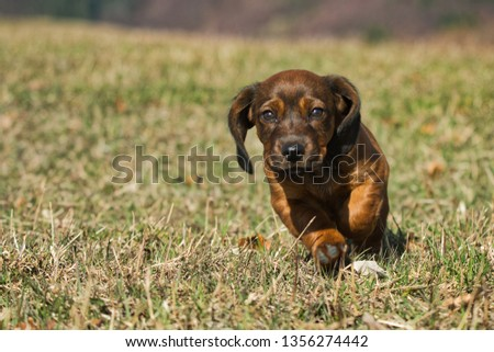 The Alpine Dachsbracke (ger. Alpenländische Dachsbracke) is a small breed of dog of the scent hound type originating in Austria. The Alpine Dachsbracke was bred to track wounded deer as well as boar,