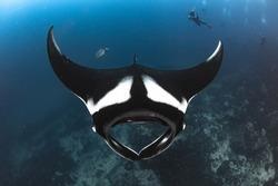 The Amazing shot of Manta ray.