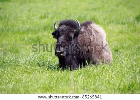 The American Bison on display in the