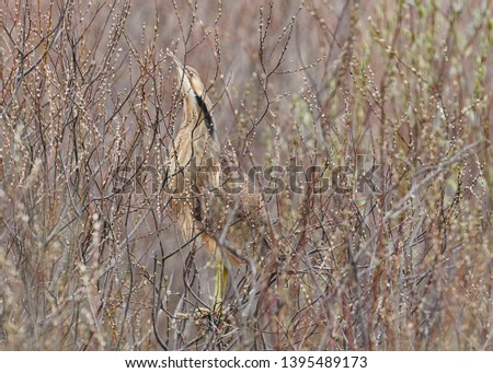 The American Bittern in its Natural Habitat #1395489173