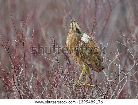 The American Bittern in its Natural Habitat #1395489176