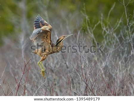 The American Bittern in its Natural Habitat #1395489179