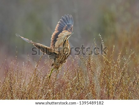 The American Bittern in its Natural Habitat #1395489182
