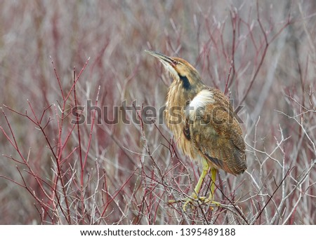 The American Bittern in its Natural Habitat #1395489188