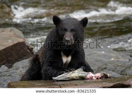 The American black bear eating fish - stock photo