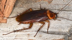 The American cockroach (Periplaneta americana), a species of cockroaches