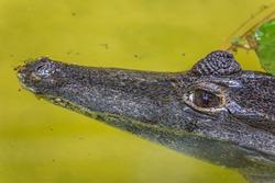 The American crocodile (Crocodylus acutus) is a species of crocodilian found in the Neotropics