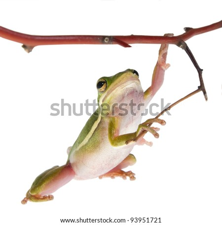 The American green tree frog (Hyla cinerea)