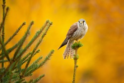 The American kestrel (Falco sparverius), also called a sparrow hawk is the smallest and most common falcon in North America.