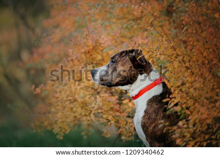 The American Staffordshire Terrier dog at autumn leves #1209340462