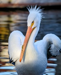The American white pelican is a large aquatic soaring bird from the order Pelecaniformes.