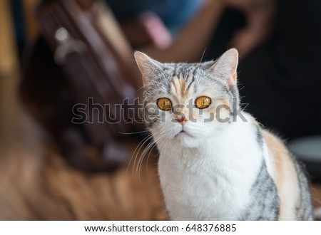 The American wirehair cat. #648376885