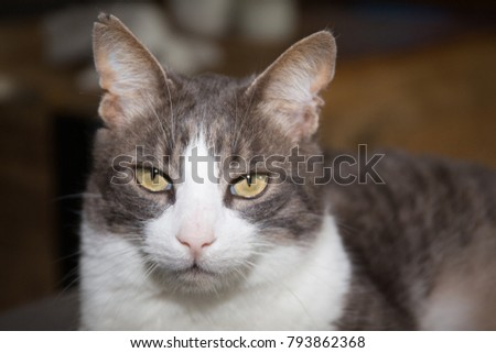The American wirehair cat at home #793862368