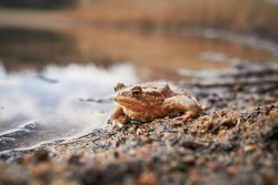 The amphibian animal common toad, or european toad, in latin bufo bufo sitting on the sand just on the water level by the clear lake in sunny spring sunset. Toad is frog widely spread in Europe.