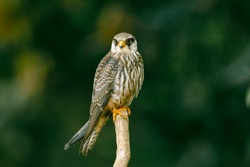 The Amur Falcon is not often found in northern Thailand.