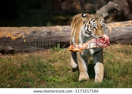 The Amur Siberian tiger eats raw meat. Stock fotó ©