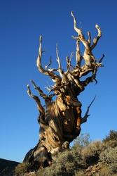 The Ancient Bristlecone Pine, California