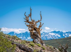 The Ancient Bristlecone Pine Forest is a protected area high in the White Mountains in Inyo County in eastern California.