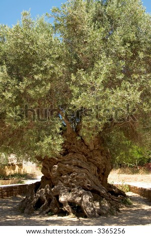 "The ancient olive tree (Olea europaea) at Vouves, in Kolimbari district of Crete. The tree is so old that it has been declared a ""natural monument""."