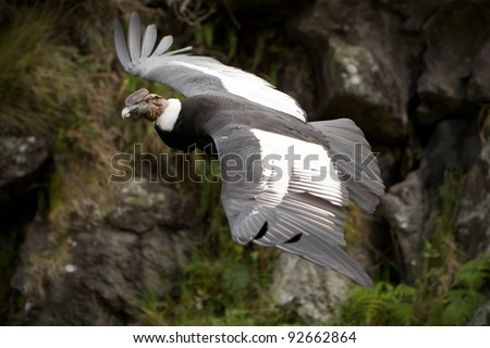 The Andean Condor (Vultur gryphus) - stock photo