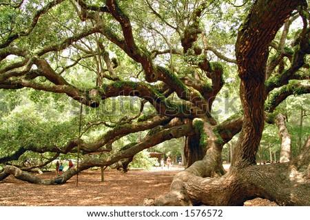 The Angel Oak on John's Island, SC