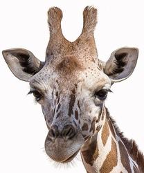 The Angolan giraffe (Giraffa giraffa angolensis), also known as the Namibian giraffe, is a subspecies of giraffe that is found in northern Namibia, south-western Zambia, Botswana, and western Zimbabwe