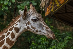 The Angolan giraffe (Giraffa giraffa angolensis), also known as the Namibian giraffe, is a subspecies of giraffe that is found in northern Namibia, south-western Zambia, Botswana and Zimbabwe